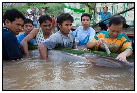 ... terbesar di dunia ternyata berhasil ditangkap dari sungai mekong di